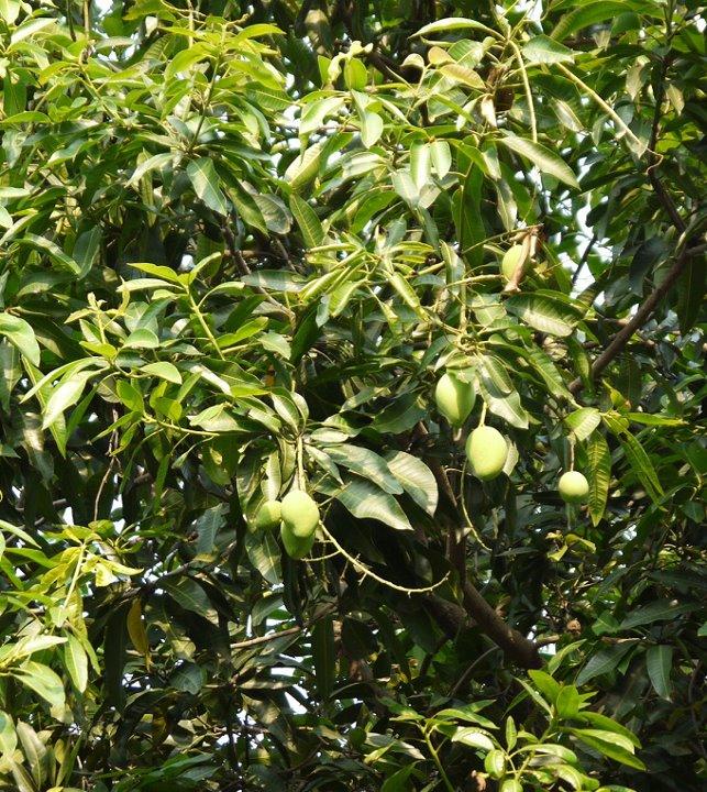 Mangga, teduh dan buahnya jg enak